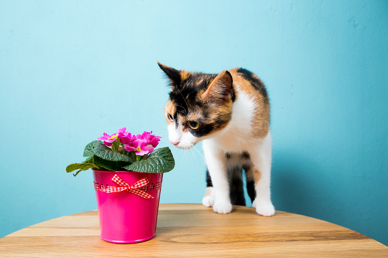Cat on table smelling flowers