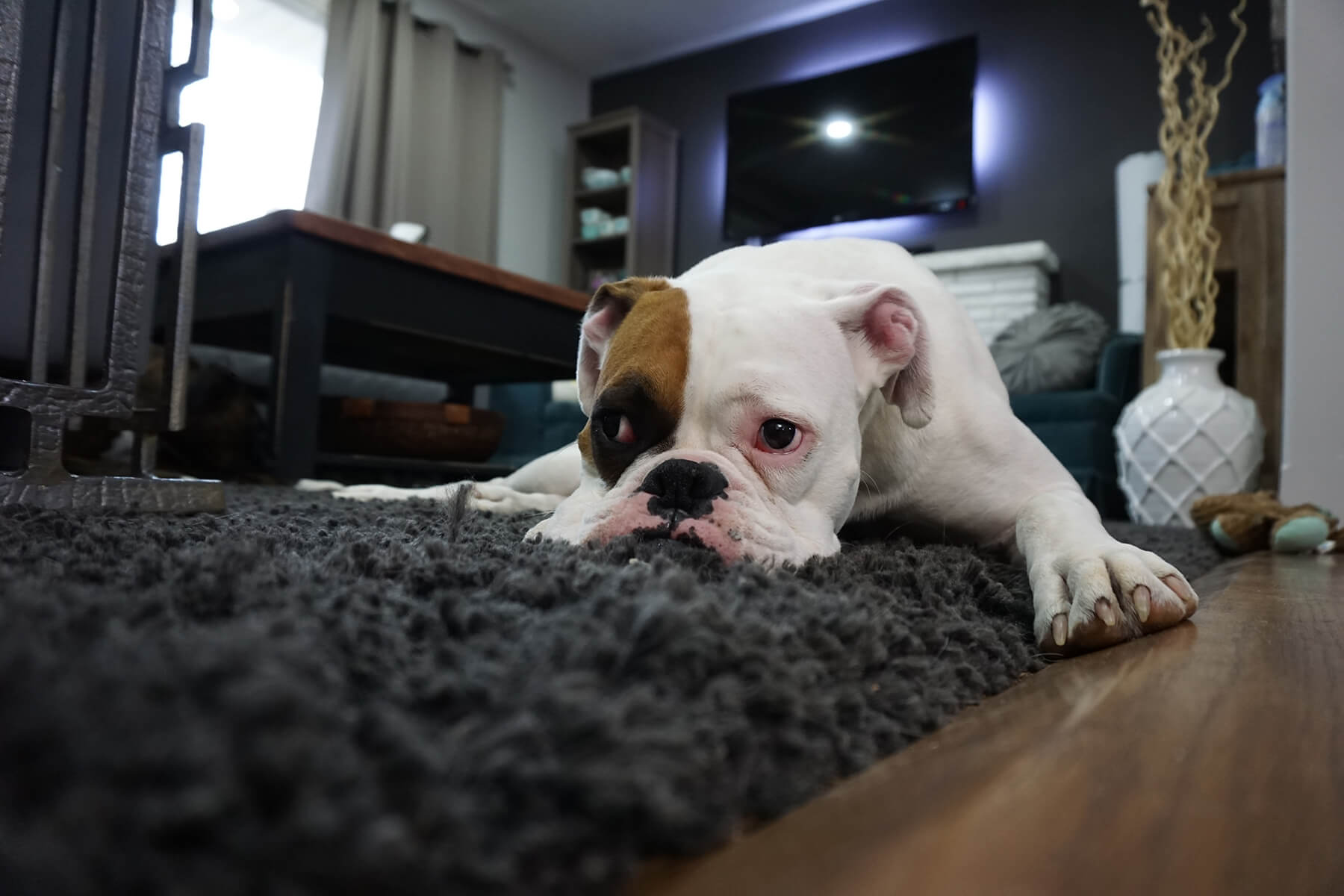 Dog laying on rug looking sad